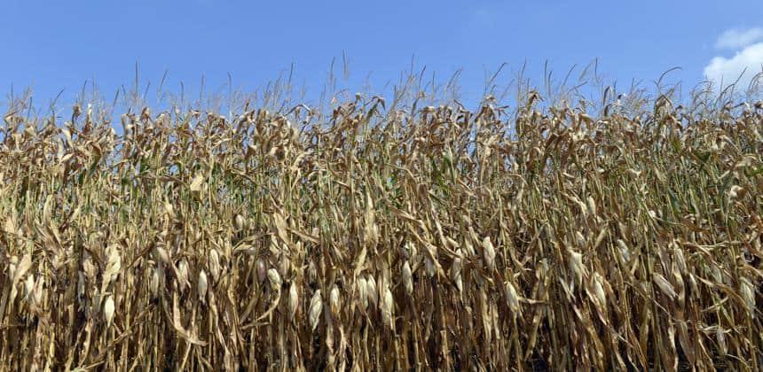 Maïs sécheresse
